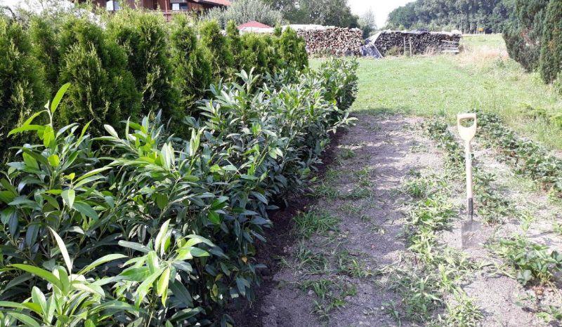 Pflanzreihe Baumschule Gartenlotsen